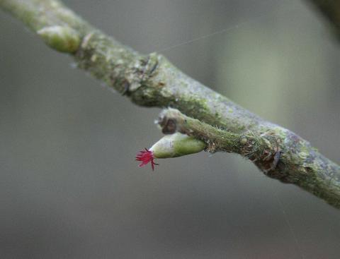 Female Flower of the hazel