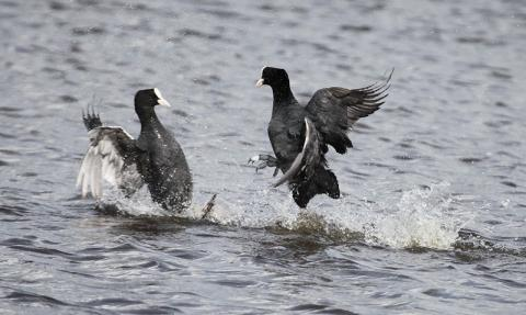 Coots behaving aggressively