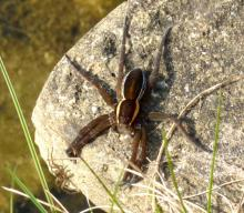 Adult Raft Spider