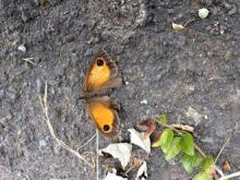Gatekeeper Butterfly on Pavement in Sandford