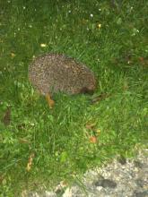 Hedgehog at Night in Sandford