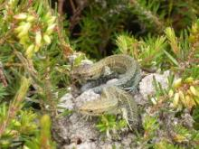 Young Sand Lizards 2009